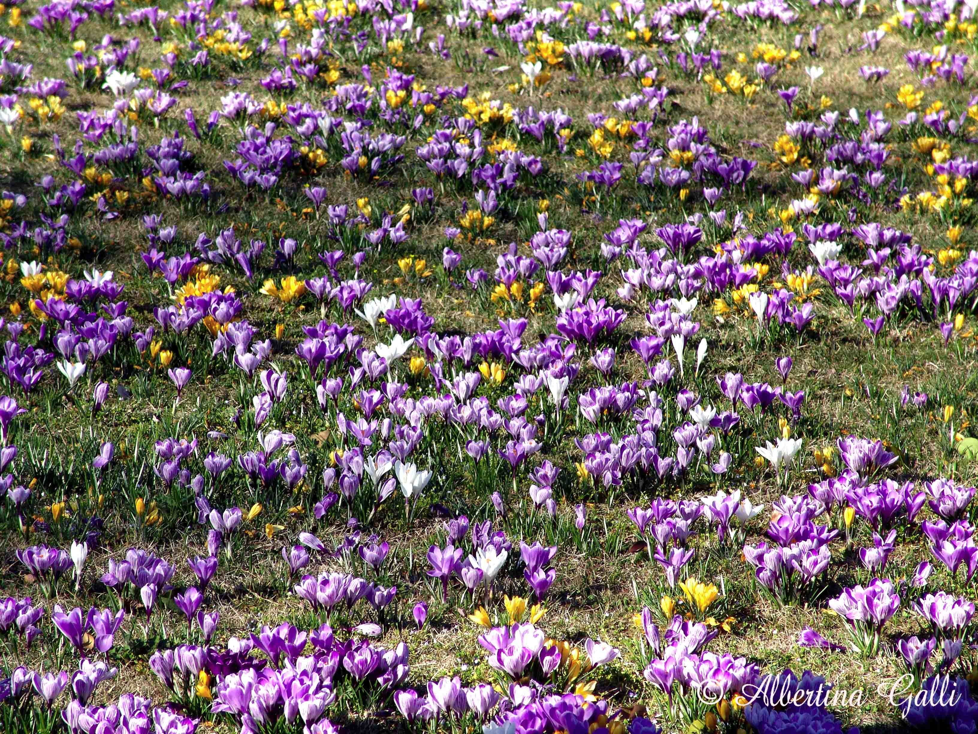 Crocus di Albertina Galli